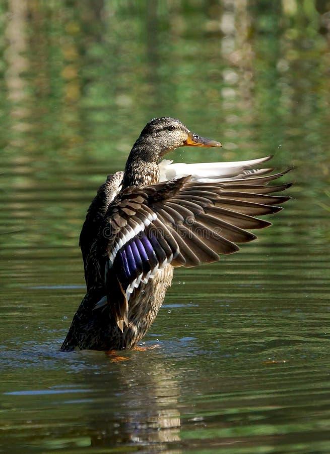Pato femenino del pato silvestre imagenes de archivo