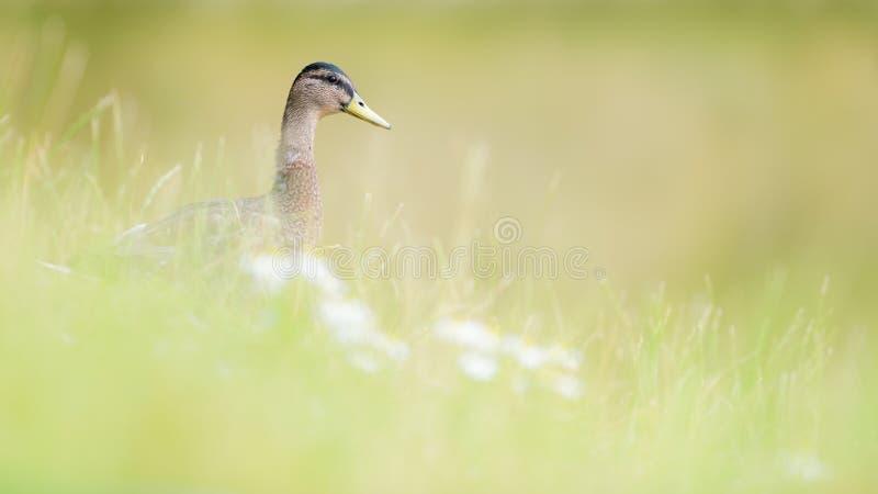 Pato femenino del pato silvestre en hierba y flores salvajes fotografía de archivo