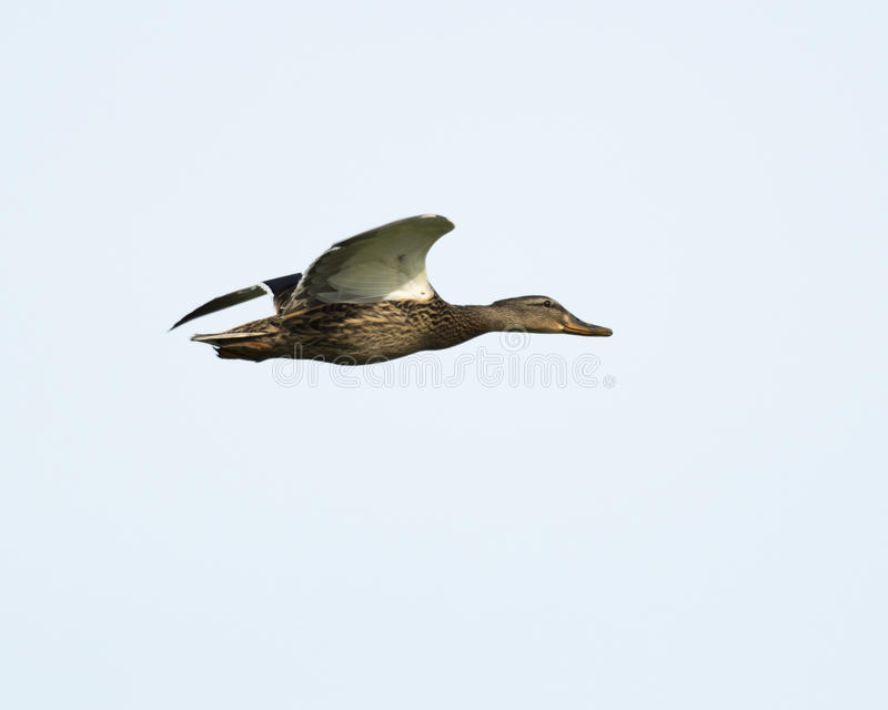 Pato femenino del pato silvestre en vuelo imagen de archivo libre de regalías