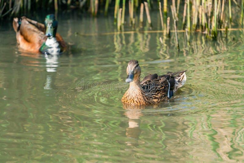 Pato femenino del pato silvestre - platyrhynchos de las anecdotarios fotografía de archivo libre de regalías