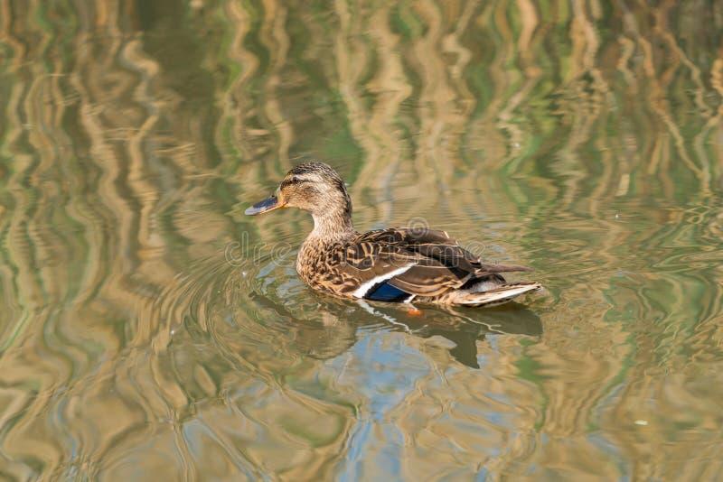 Pato femenino del pato silvestre - platyrhynchos de las anecdotarios imagenes de archivo