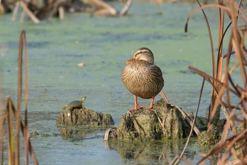 Pato femenino del pato silvestre y una tortuga que asolea en el sol de la caída en el área de la fauna de los prados del Crex en  imagen de archivo libre de regalías