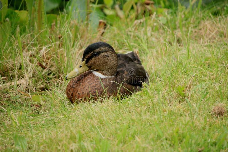 Pato femenino en hierba imagen de archivo