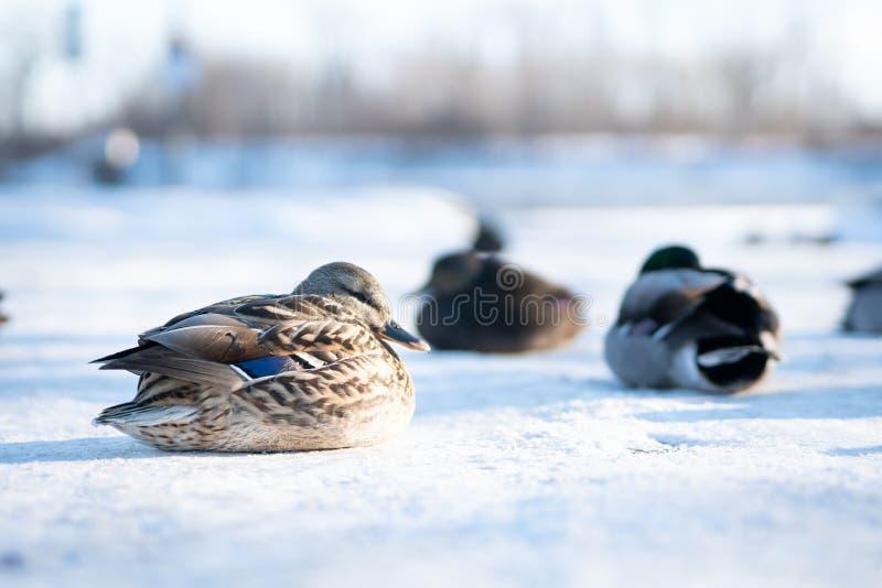 Pato femenino salvaje con su multitud que descansa sobre nieve delicada imágenes de archivo libres de regalías