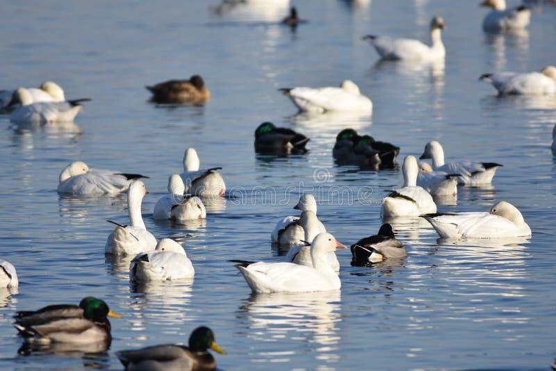 Pato, pato Ganso 3: La migración de la caída vuelve al lavabo de Columbia fotos de archivo libres de regalías