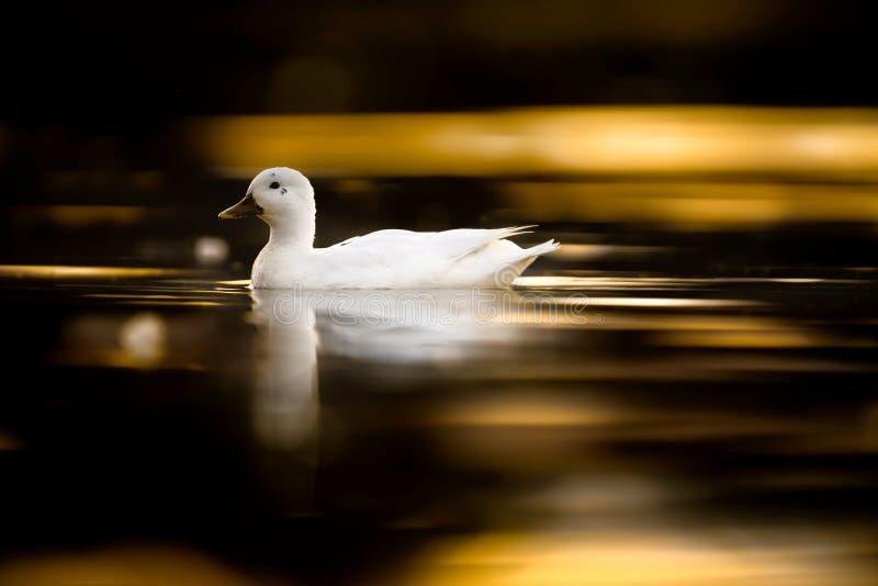 Pato híbrido juvenil en la puesta del sol imagen de archivo libre de regalías