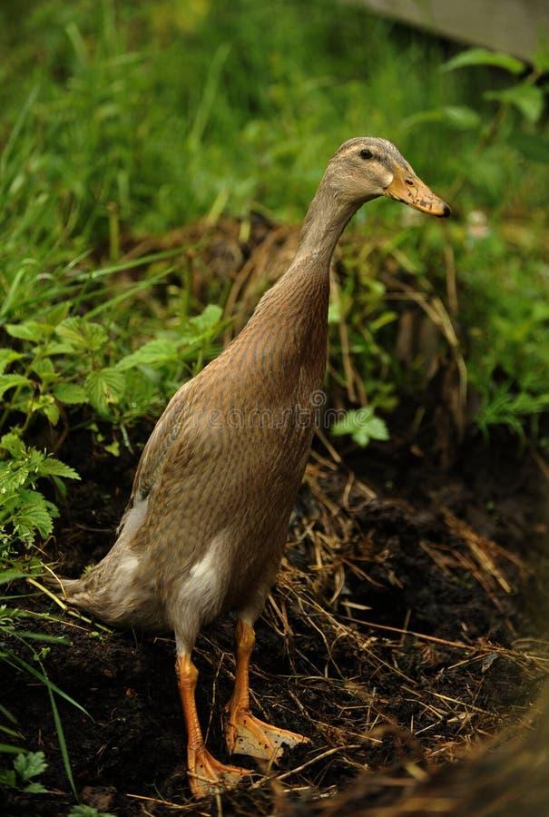 Pato indio del corredor imagen de archivo