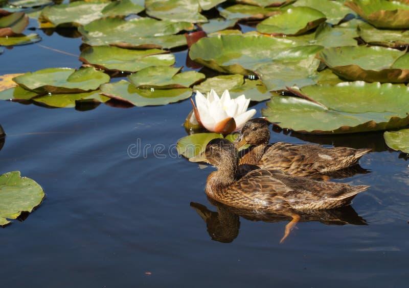 Pato joven del pato silvestre en superficie del agua fotografía de archivo