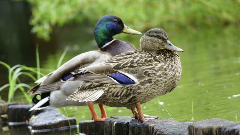 Pato macho y pato salvajes fotografía de archivo