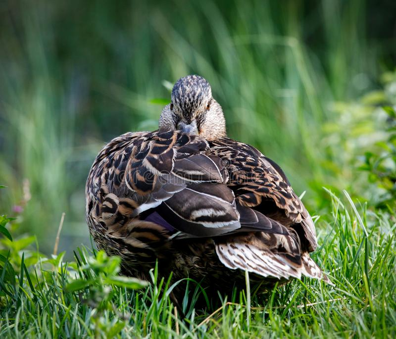 Pato marrom bonito do pato selvagem com um lago alpino natural cercado pela grama nos cumes austríacos imagens de stock royalty free