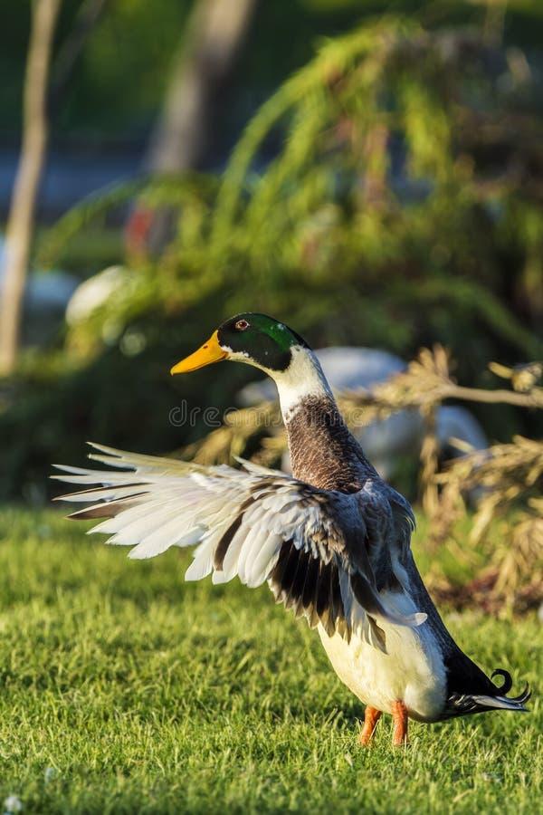Pato masculino colorido do pato selvagem ou pato selvagem que bate suas asas fotografia de stock
