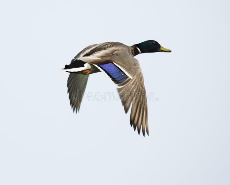 Pato masculino del pato silvestre en vuelo imagenes de archivo
