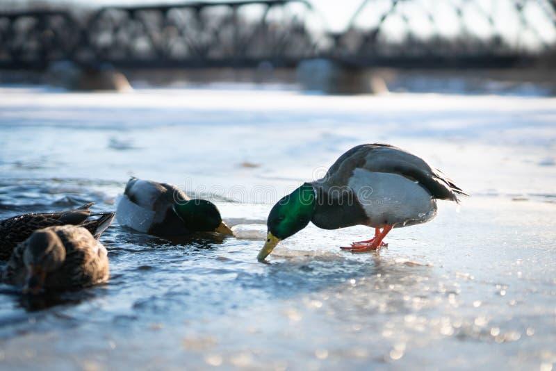 Pato masculino del pato silvestre alrededor a zambullirse en la agua fría de un lago o de una charca congelado del río en una luz imagen de archivo