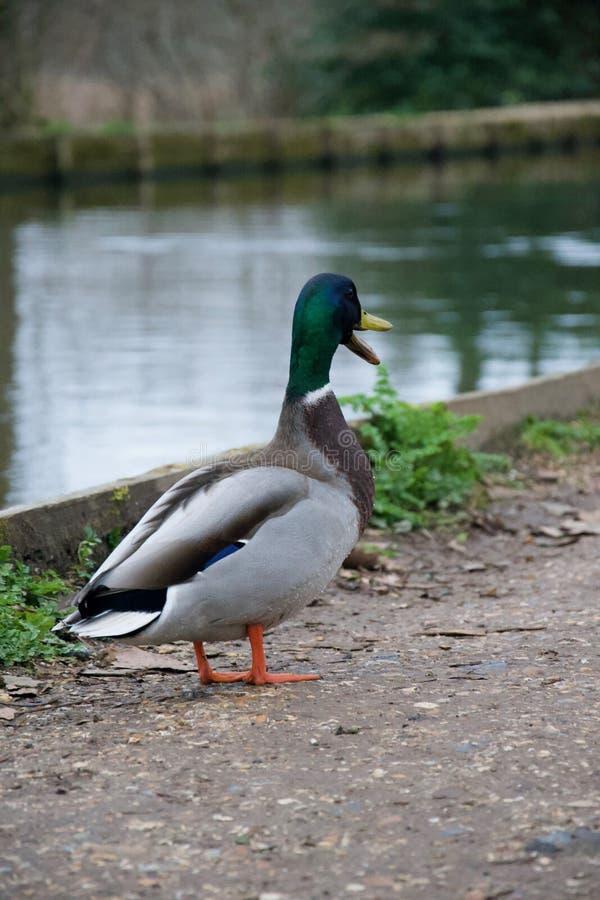 Pato masculino del pato silvestre qualking en el sendero cerca del río imágenes de archivo libres de regalías