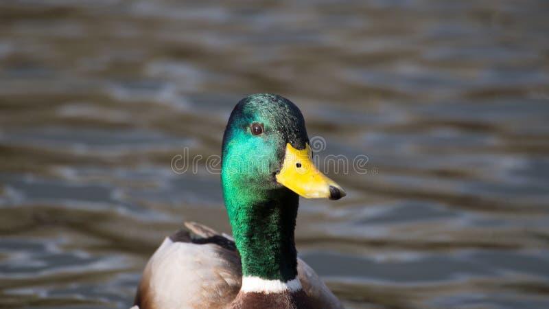 Pato masculino do pato selvagem fotografia de stock