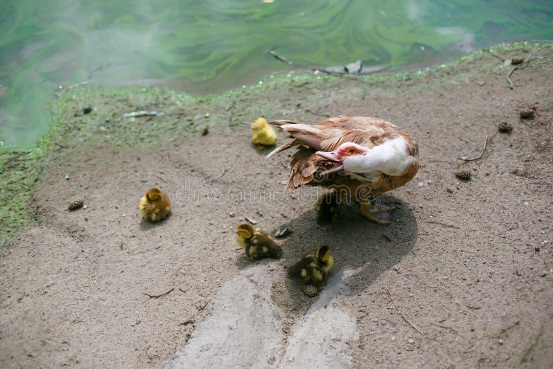 Pato Musky com galinhas amarelas fora foto de stock royalty free