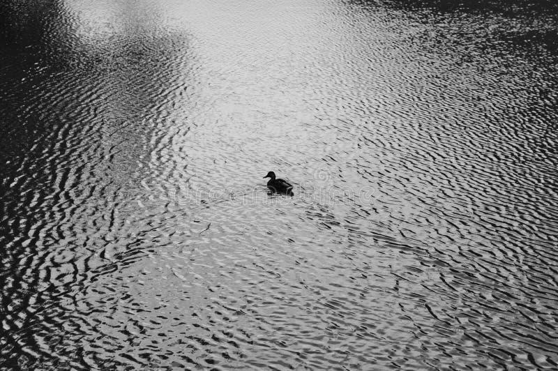 Pato na água fotografia de stock royalty free