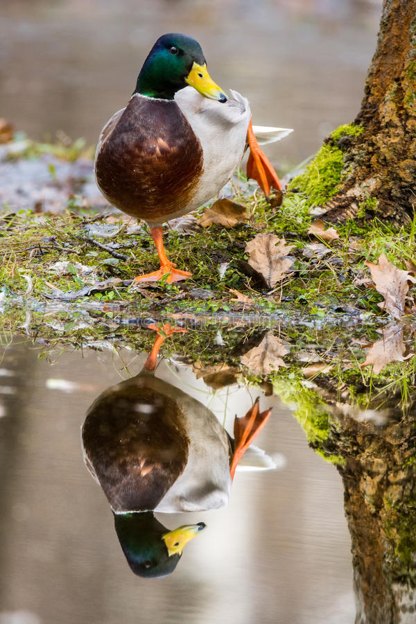 Pato na costa com uma reflexão fotos de stock