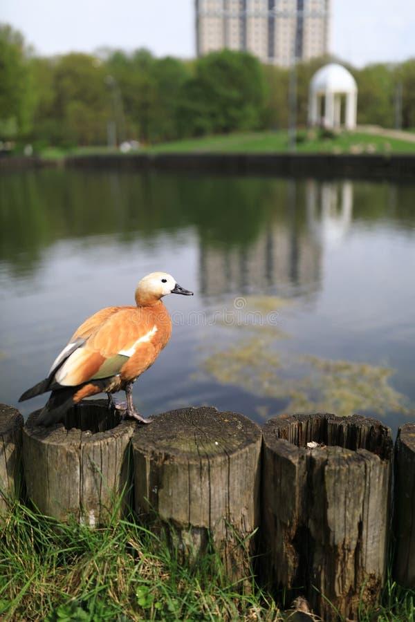 Pato na costa da lagoa fotografia de stock royalty free