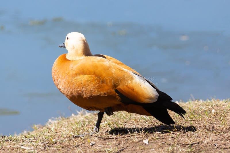 Pato na costa foto de stock