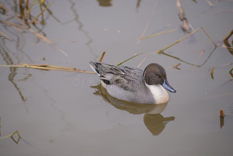 Pato na lagoa fotografia de stock