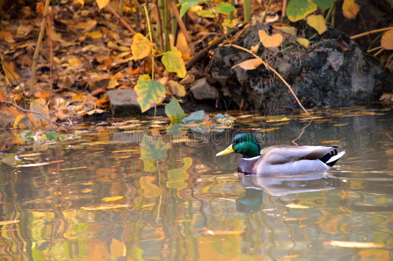 Pato na lagoa imagem de stock