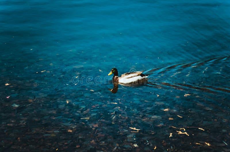 Pato na lagoa imagens de stock