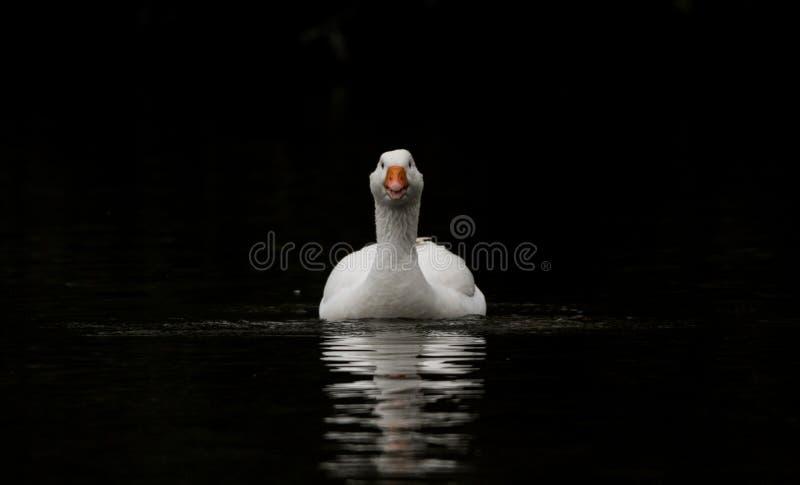 Pato nas sombras imagem de stock