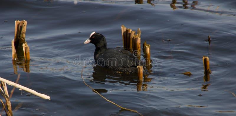 Pato negro con una cabeza blanca fotografía de archivo libre de regalías
