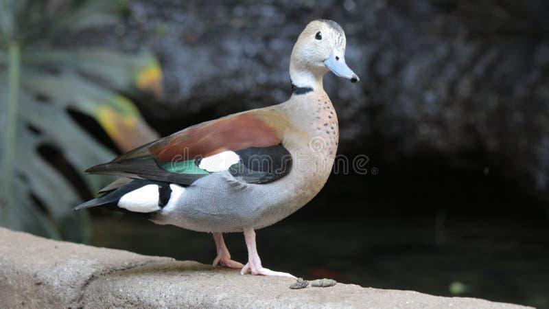 Pato no aviário de Kindgom do pássaro em Niagara Falls, Canadá imagens de stock royalty free