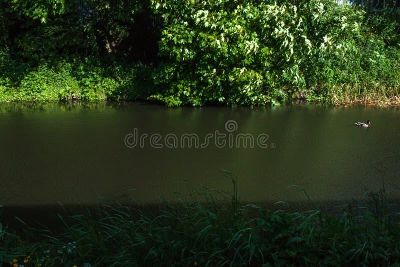 Pato no canal Canal da união, Edimburgo, Escócia imagem de stock