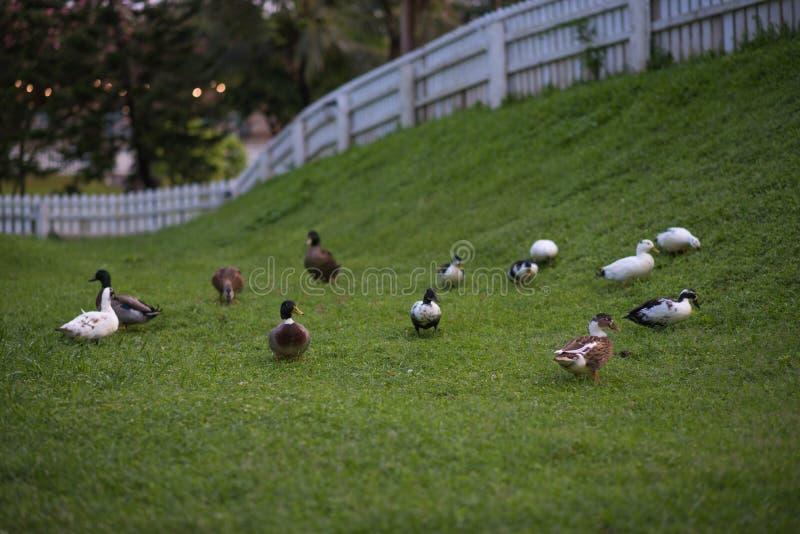 Pato no gargen foto de stock royalty free