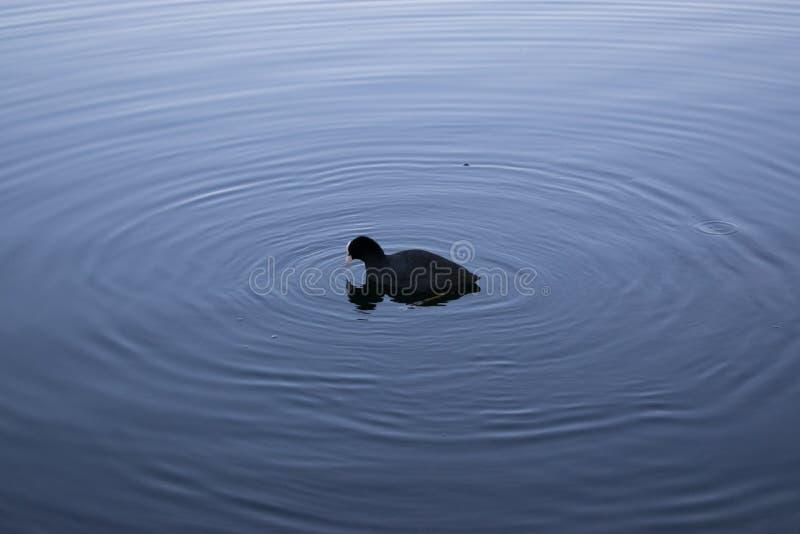 Pato no lago foto de stock