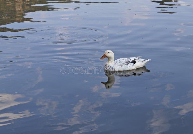 Pato no lago azul em África do Sul imagens de stock