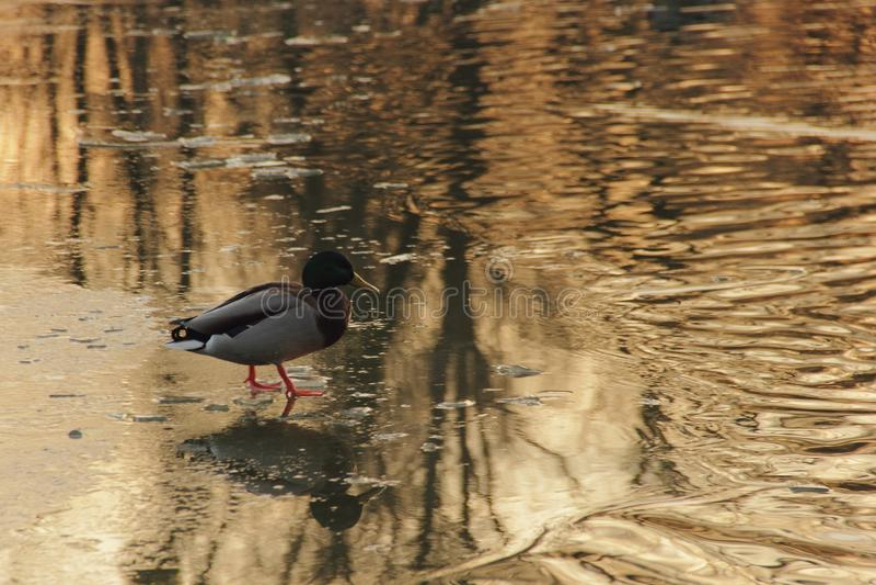 Pato no lago do inverno fotos de stock