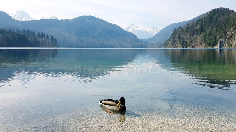 Pato no lago por montanhas foto de stock
