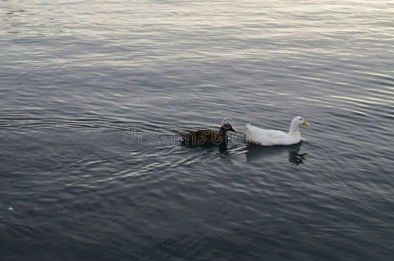 Pato no mar fotografia de stock royalty free