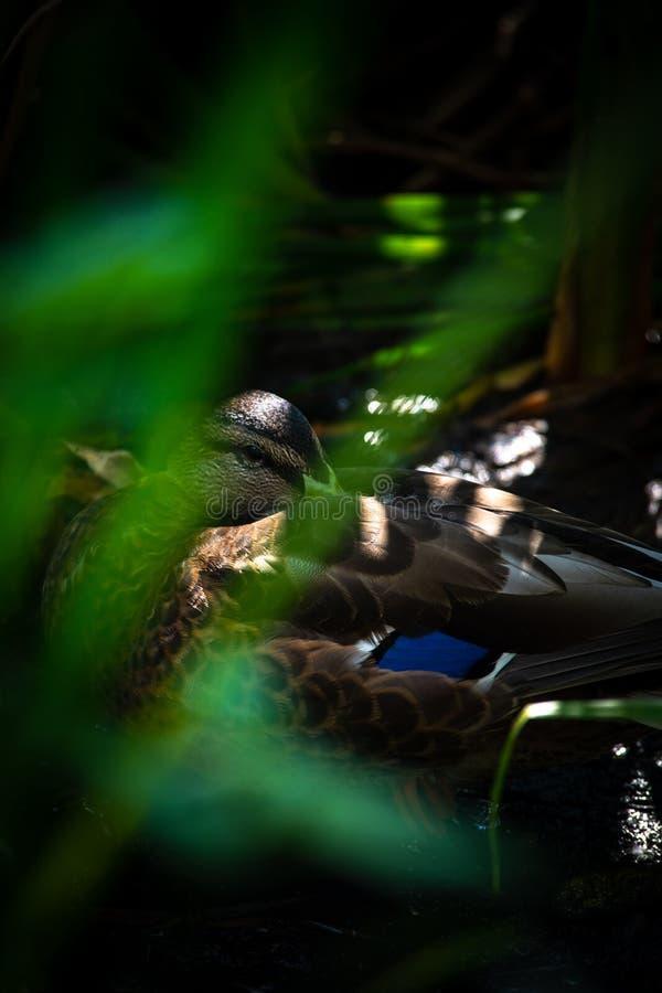Pato no verde das economias da ecologia da natureza da reflex?o da ?gua imagens de stock