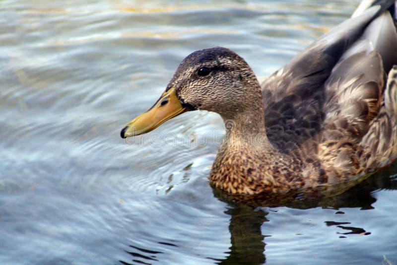 Pato novo do pato selvagem fotografia de stock