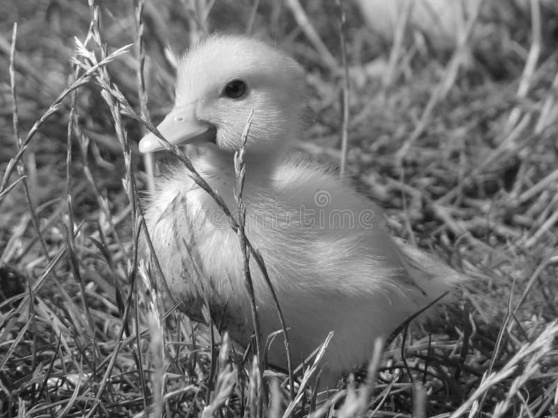 Pato pequeno na grama fotos de stock royalty free