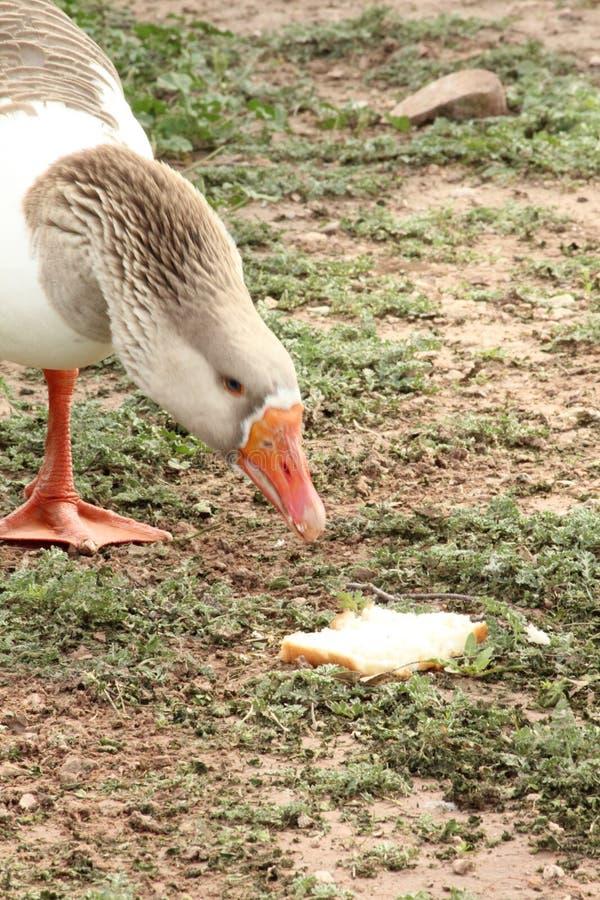 Pato perto da água fotografia de stock royalty free