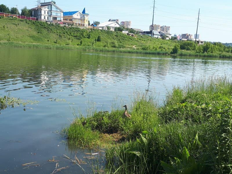 Pato por el río, en el otro lado del pueblo fotografía de archivo libre de regalías