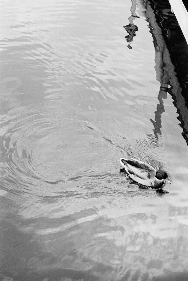 Pato preto e branco fotografia de stock royalty free