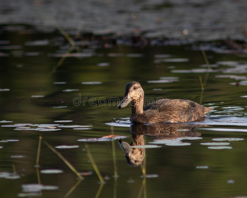 Pato preto na lagoa do castor no crepúsculo foto de stock royalty free