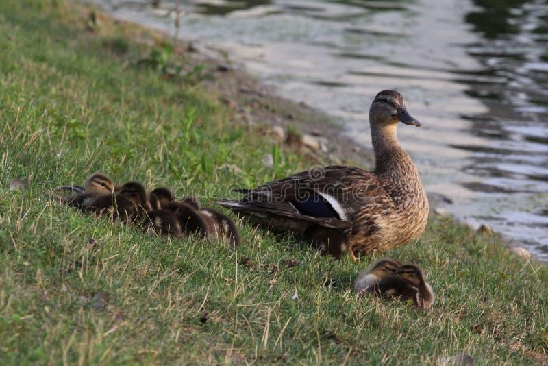 Pato protetor da mamãe imagens de stock royalty free