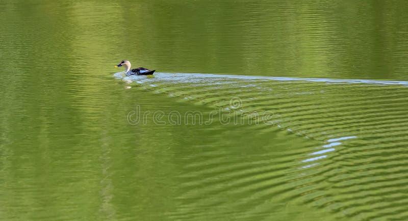 Pato Punto-cargado en cuenta indio, Anas Poecilorhyncha, en el lago Hirekolale de Karnataka foto de archivo libre de regalías
