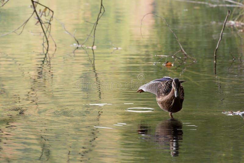 Pato que camina en agua foto de archivo