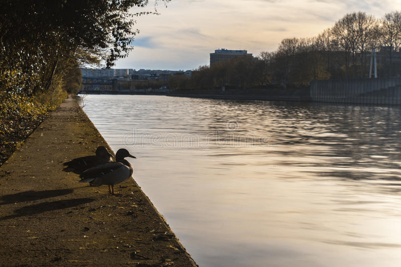 Pato que contempla o Seine fotografia de stock royalty free