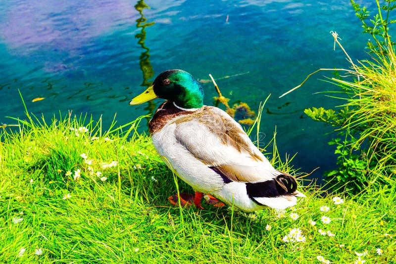Pato que descansa ao lado da lagoa feliz fotografia de stock