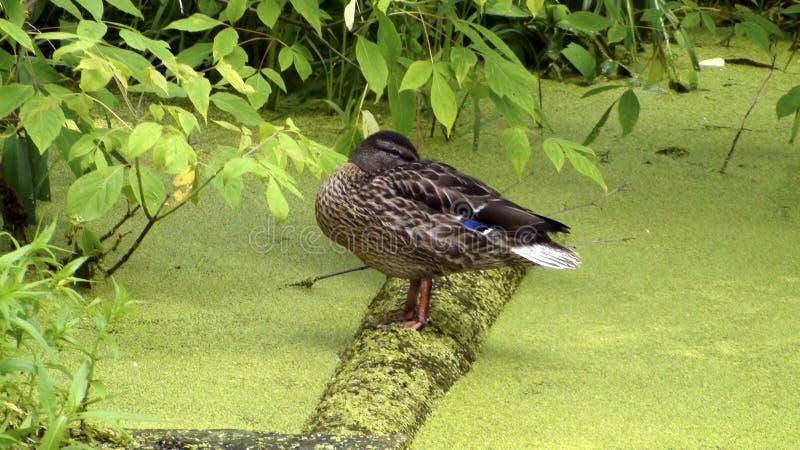 Pato que dorme na lagoa coberto de vegetação foto de stock